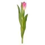Purpurfärgade tulpan som isoleras på vit bakgrund 10 eps Royaltyfri Bild