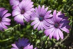 Purpurfärgade tusensköna- och vattensmå droppar En grupp av purpurfärgade tusenskönor Royaltyfria Bilder