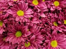 purpurfärgade tusenskönablommor i en blom- bukett för gåva av förälskelse, bakgrund och textur royaltyfri foto