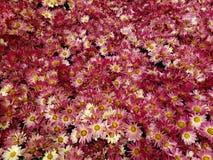 purpurfärgade tusenskönablommor med vit i en trädgård i vårsäsong fotografering för bildbyråer