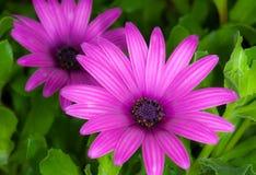 Purpurfärgade tusenskönor, Argyranthemumfrutescens 3 Royaltyfri Fotografi