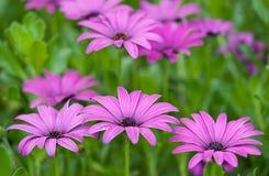 Purpurfärgade tusenskönor, Argyranthemumfrutescens 2 Arkivfoton
