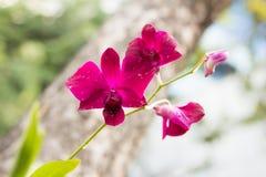 Purpurfärgade Vanda Orchids Arkivbilder