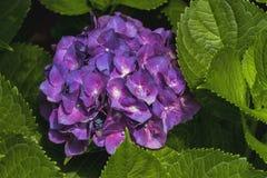Purpurfärgade vanlig hortensiablommor - Hydrangeaceae Royaltyfria Bilder