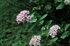 Purpurfärgade vanliga hortensior Royaltyfria Bilder