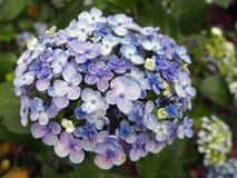 Purpurfärgade vanliga hortensior Royaltyfri Foto