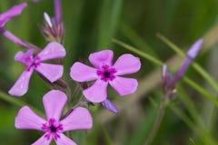 Purpurfärgade vildblommar Fotografering för Bildbyråer