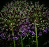 Purpurfärgade vildblommar Royaltyfria Foton