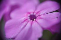 Purpurfärgade vildblommar Blommor i fältet Makro Arkivbilder