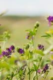 Purpurfärgade vildblommor och nytt gräs solig dag royaltyfria foton