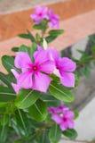 Purpurfärgade Vinca Roseus blommar i en trädgårds- trottoar Arkivbild