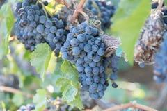 Purpurfärgade vindruvor på vinranka i vingård arkivbilder