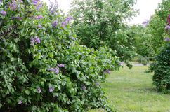 Purpurfärgade violetta blommor för vår på busken av lilan arkivfoton