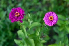 Purpurfärgade zinnias i trädgården arkivbilder
