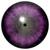 Purpurfärgat öga halloween för demon med den svarta eleven och vit bakgrund, grå cirkel arkivbild