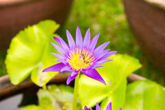 Purpurfärgat blomma för lotusblommablomma Arkivbilder