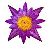 Purpurfärgat blomma för näckros Arkivbilder