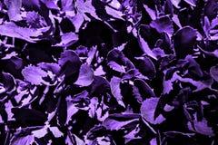 Purpurfärgat gräs med stora ark fotografering för bildbyråer