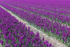 Purpurfärgat hyacint'Woodstock' fält Noord-Holland Royaltyfri Foto