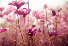Purpurfärgat kosmos blommar med solsken - tappningstil Arkivbild