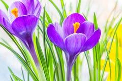 Purpurfärgat krokusslut upp Arkivbild