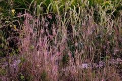 Purpurfärgat Lalang gräs Royaltyfria Foton