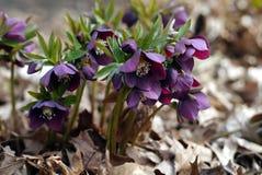 Purpurfärgat Lenten steg i träna Royaltyfri Fotografi