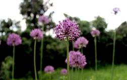 Purpurfärgat liknande blommaslut för Allium upp arkivfoto