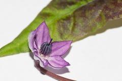 Purpurfärgat och vitt blomma och blad för peppar för Filius blåttchili Fotografering för Bildbyråer