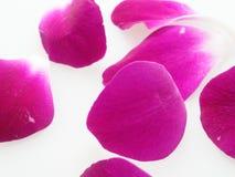 Purpurfärgat och vitt orkidéblommakronblad i den lekmanna- lägenheten Royaltyfri Bild