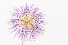 Purpurfärgat passionblommaslut upp Royaltyfri Foto