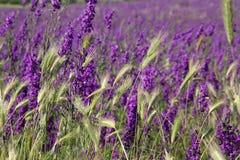 Purpurfärgat sommarfält av lösa blommor och grova spikar royaltyfri foto