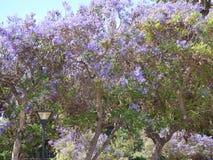 Purpurfärgat träd Ovalle, Chile Arkivfoton
