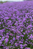 Purpurfärgat verbenafält Arkivfoto