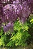 Purpurfärgat wisteriaträd Royaltyfria Bilder