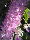 Purpurf?rgad orchid royaltyfri fotografi