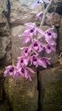 Purpurf?rgad orchid arkivfoto
