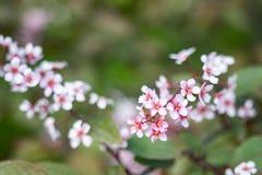 Purpurf?rgade blommor av bergenia v?xer i en v?rtr?dg?rd close upp Bergeniacordifoliapurpurea arkivbild