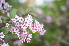 Purpurf?rgade blommor av bergenia v?xer i en v?rtr?dg?rd close upp Bergeniacordifoliapurpurea arkivbilder