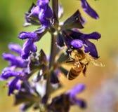 Purpurf?rgade blommor som pollineras av ett bi i, parkerar royaltyfria bilder
