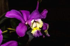 Purpurf?rgade orkid?r p? en svart bakgrund royaltyfria foton