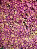 purpurf?rgade tusensk?nablommor i en botanisk tr?dg?rd, en bakgrund och en textur arkivfoton