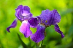 Purpurfärgad irisblomma i trädgård Fotografering för Bildbyråer