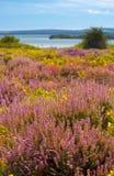 Purpurfärgad och rosa ljung på den Dorset heathlanden nära den Poole hamnen Arkivfoto