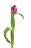 Purpurfärgad tulpanblomma och sidor Royaltyfria Foton