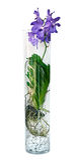 Purpurfärgad vanda orkidéblomma i en glass vas, Arkivbild
