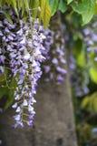 Purpurfärgad wisteria som draperar över trädgårdprydnader i sommartillväxt l Royaltyfri Bild