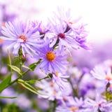 Purpurfärgade chrysanthemumblommor Arkivbild