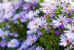 Purpurfärgade chrysanthemumblommor Royaltyfria Foton