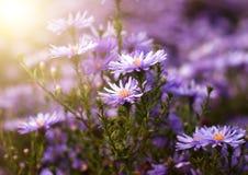 Purpurfärgade chrysanthemumblommor Arkivfoto
